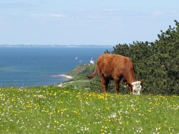 Vilde køer på Røsnæs, Sjælland